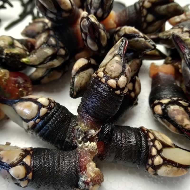 Percebes de O Grove